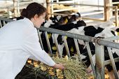 Cute woman in white coat feeds of hay small calves at large farm.