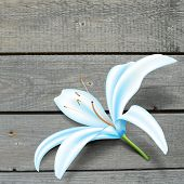 Realistic Blue Lily Flower. Vector Illustration