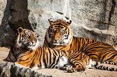 picture of tigress  - Tiger Close Up Portrait in Berlin zoo - JPG
