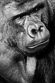 image of gorilla  - Face portrait of a gorilla male in a zoo - JPG