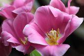 Pink Tulips Against Dark Background Close Up