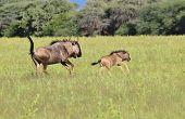 Blue Wildebeest - Wildlife Background from Africa - Run of the Wild
