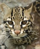 beautiful ocelot or manigordo looking at camera, costa rica