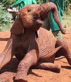 A playful orphaned baby elephant