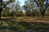 Mature Pecan Orchard