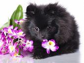 spitz-dog and flowers, black Dog