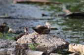 Wood Duck (aix Sponsa) Duckling Sitting On A Rock.