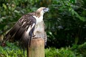 The Filipino eagle (Pithecophaga jefferyi) is a very rare and endangered species living in the Davao