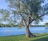 image of winnebago  - Old Twisted Tree on the edge of Lake Winnebago in Wisconsin - JPG