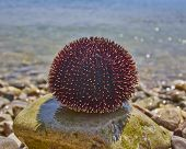 sea urchin and sea background
