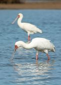 African Spoonbill Searching For Food.