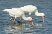 Two African Spoonbills Searching For Food In Unison