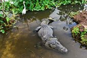 pic of alligator baby  - Alligator - JPG