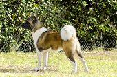 image of pinto  - A profile view of a sable white and brown pinto American Akita dog standing on the grass distinctive for its plush tail that curls over his back and for the black mask - JPG