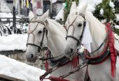 stock photo of hackney  - Two beautiful White Horse in Zakopane  - JPG