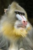 stock photo of nostril  - Portrait view of an adult male mandrill - JPG