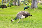 Peacock In Garden