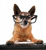 foto of chihuahua mix  - a cute chihuahua mix wearing glasses with his paws on a computer - JPG