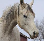 Arabian Horse face portrait