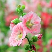 image of hollyhock  - beautiful hollyhock flower or althaea with nature background - JPG