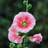 stock photo of hollyhock  - beautiful hollyhock flower or althaea with nature background - JPG