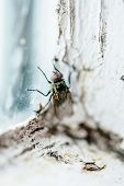 image of nasty  - Nasty Housefly in a Dirty Window Frame Corner - JPG