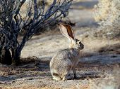 Black-tailed Jackrabbit in Morning Light