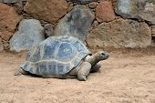 stock photo of turtle shell  - A solitary Aldabra giant tortoise scientifically known as Aldabrachelys gigantea is one of the largest tortoises in the world - JPG