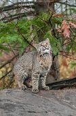 Bobcat Kitten (Lynx rufus) Looks Up From Atop Log