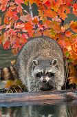 Raccoon (Procyon lotor) Looks Off Log