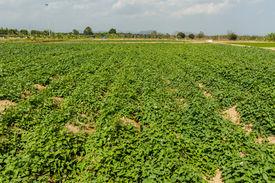 stock photo of ipomoea  - Young sweet potato plants  - JPG