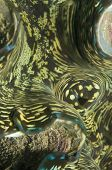 Almeja gigante, Tridacna Gigas, molusco bivalvo