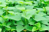 sweet potato crops in growth at garden