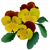 Three yellow pansy flowers