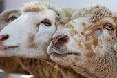 Two sheep