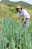 Agriculture: Organic farmer harvesting green onion
