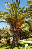 Palm Garden With Date Palms