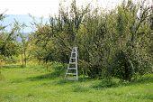 Steel ladder propped near apple trees