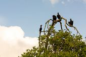 Vultures On The Tree Branch Near Livingston In Guatemala