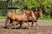 stock photo of horse plowing  - Ploughing the Field with Horses - JPG