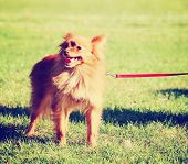a cute pomeranian at a local park on a hot sunny day toned with a retro vintage instagram filter ef