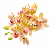 Blooming Branch Striped Yellow And Red Orchid With Drops, Phalaenopsis Is Isolated On White Backgrou