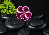 Spa Concept With Beautiful Deep Purple Flower Of Geranium, Green Branch And Zen Stones With Drops Cl