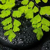 Spa Still Life Of Green Branch Maidenhair And Black Zen Stones With Drops