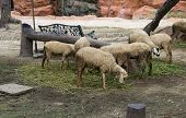 Herd Of Sheep Are Eating Vegetable
