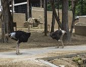 stock photo of ostrich plumage  - two ostrich in Chiangmai zoo of Thailand - JPG