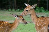 Juvenile Spotted Deer with Mother.