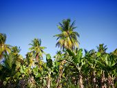 A row of palm trees.Landscape in a sunny day