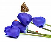 fresh blue tulips