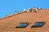 picture of excrement  - pigeons on the roof and their droppings - JPG